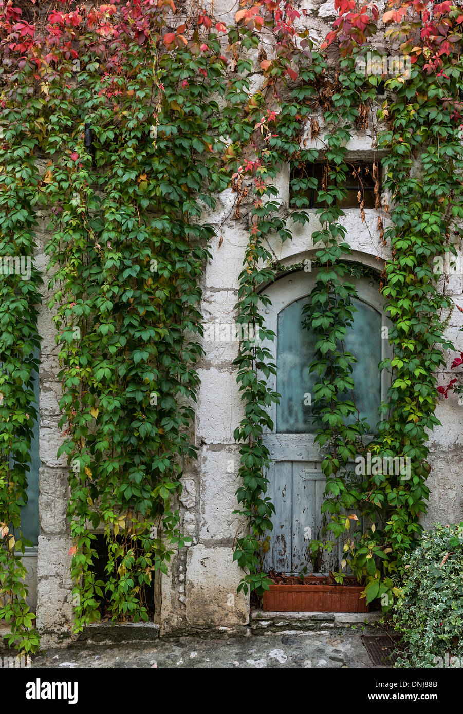 Old building facade draped with dense ivy, St Paul de Vence, Provence, France - Stock Image