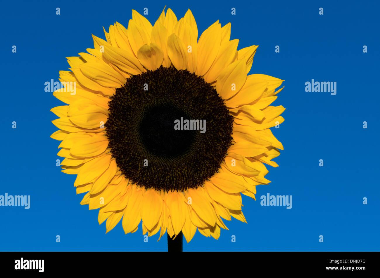 Sunflower, Helianthus annuus Stock Photo