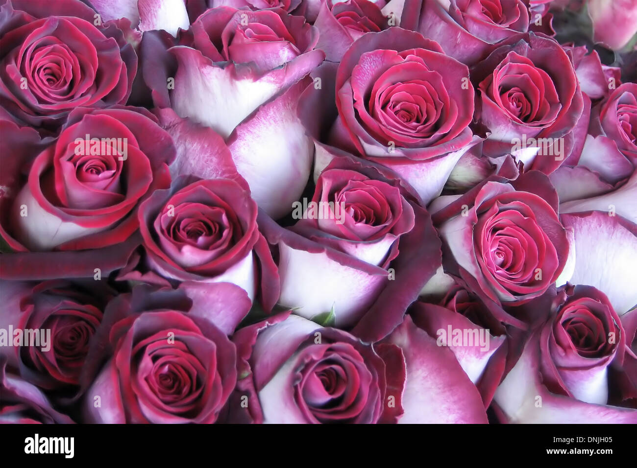 Roses with velvety petals - Stock Image