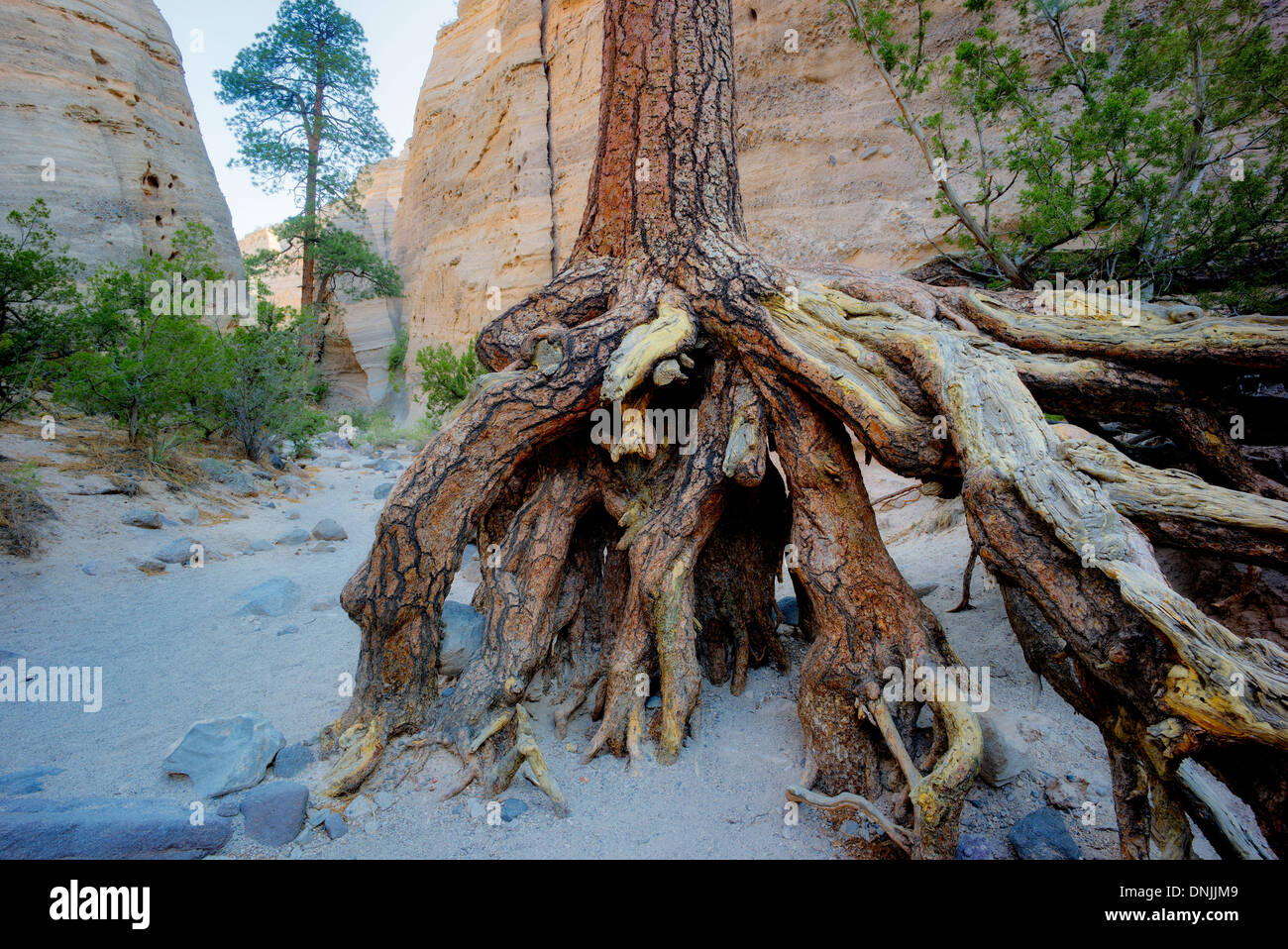 Exposed roots of Ponderosa Pine Tree in eroded streambed. Tent Rocks National Monument. Kasha-Katuwe,New Mexico - Stock Image