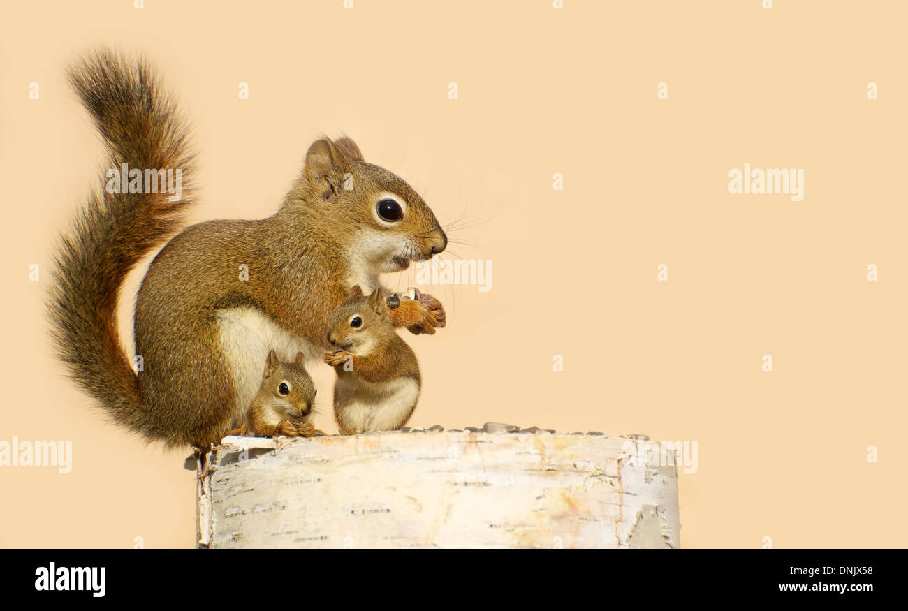 A mother squirrel and her two babies eating sunflower seeds on a birch log in the spring. - Stock Image