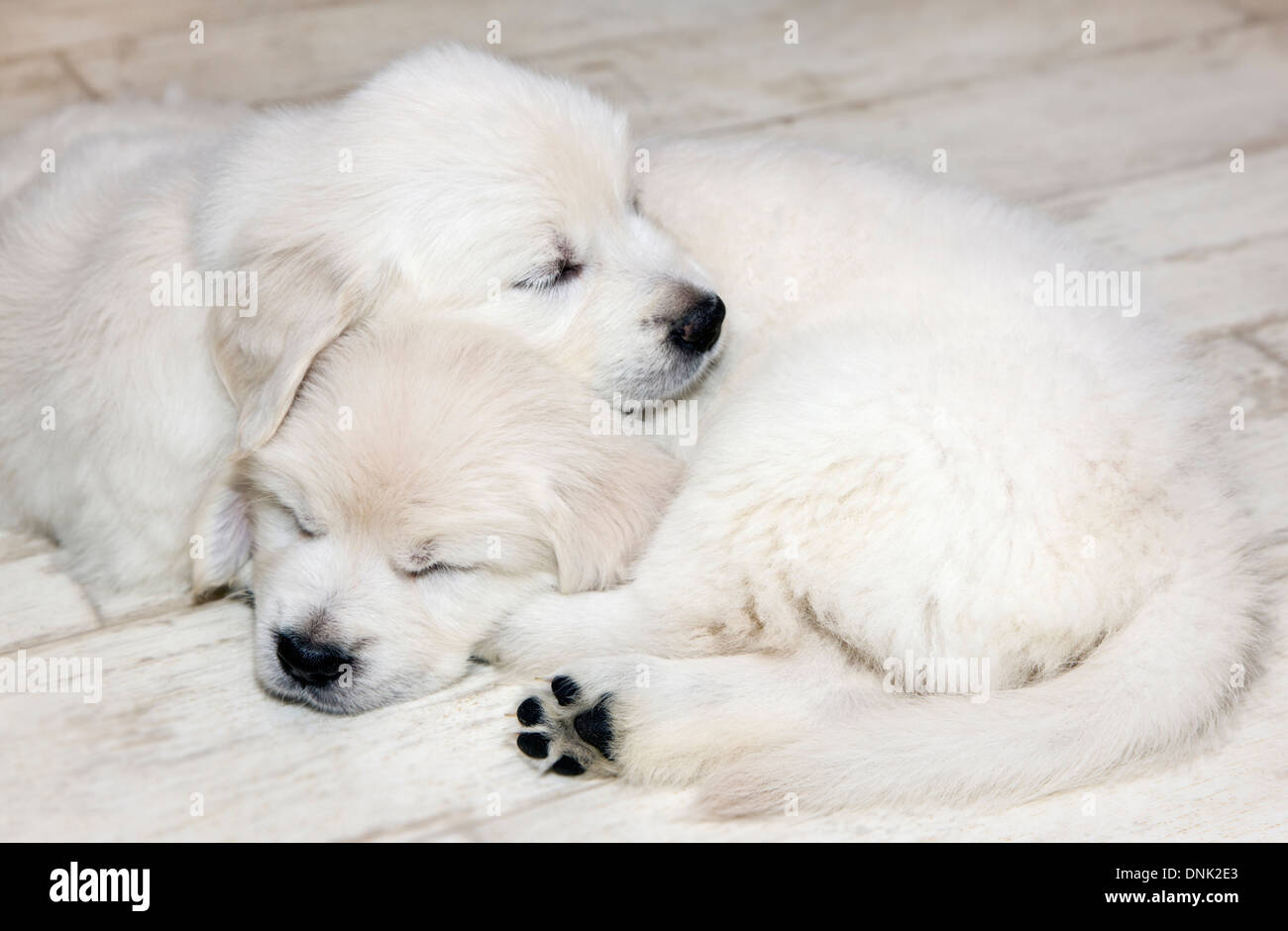 Platinum colored Golden Retriever puppies (6 weeks) - Stock Image