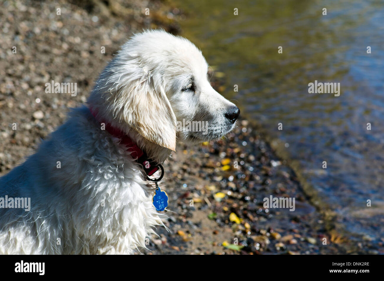 Platinum Colored Golden Retriever Puppy Playing In The Arkansas