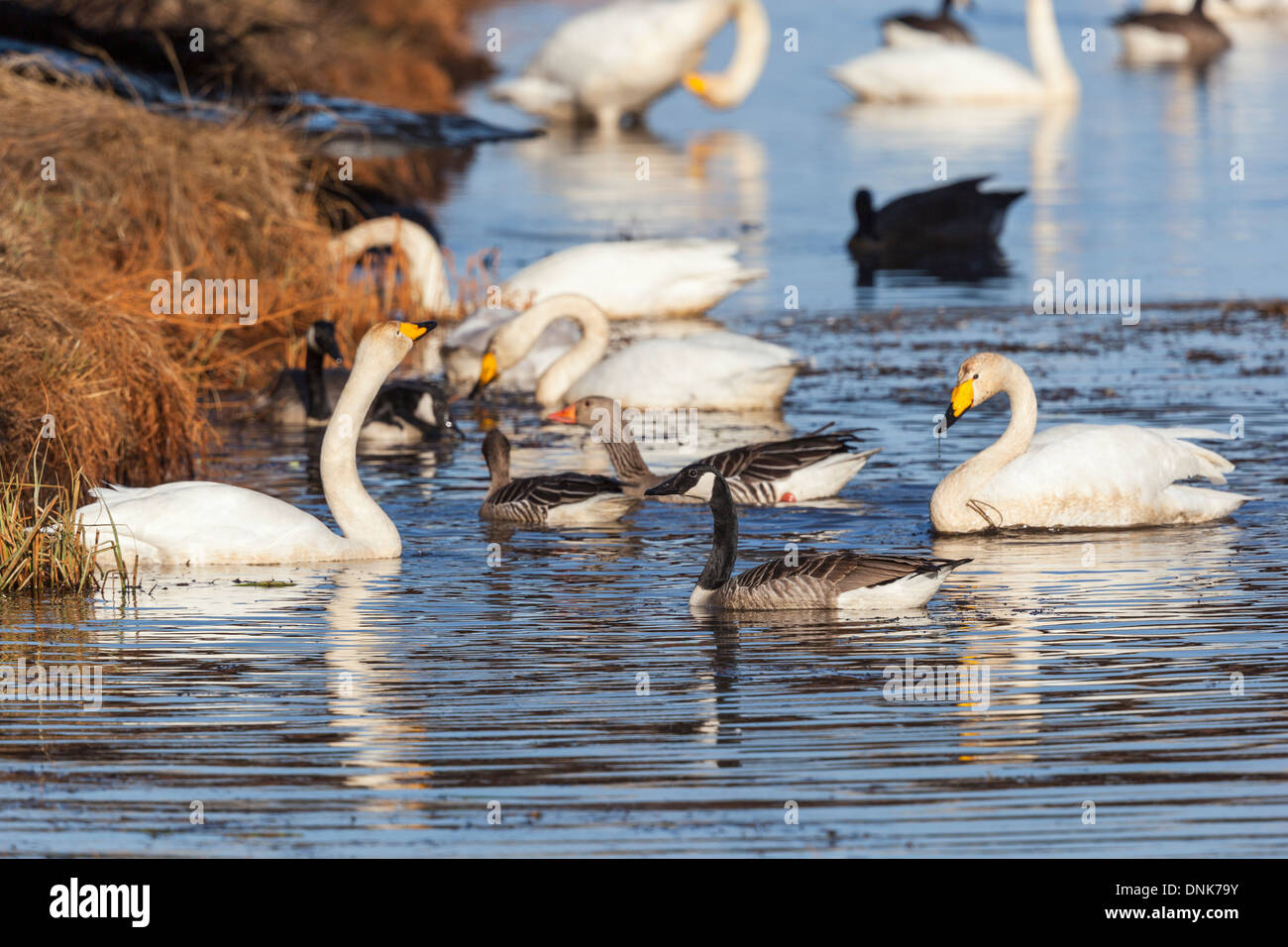 Canada Goose and Whooper Swan swimming in the river - Stock Image