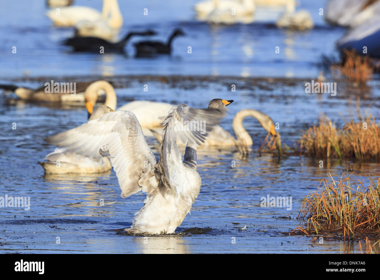 Whooper swan stretching its wings on the water - Stock Image