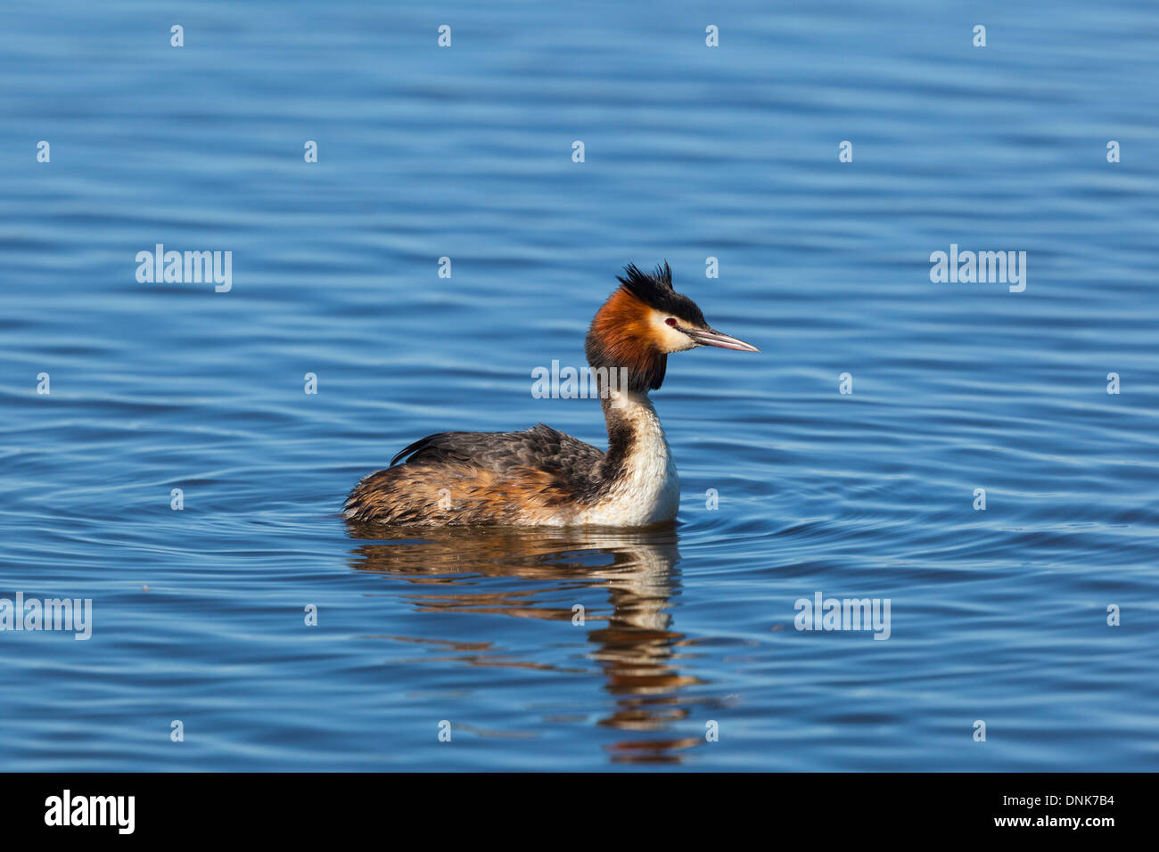 Great crested grebe swimming in lake - Stock Image