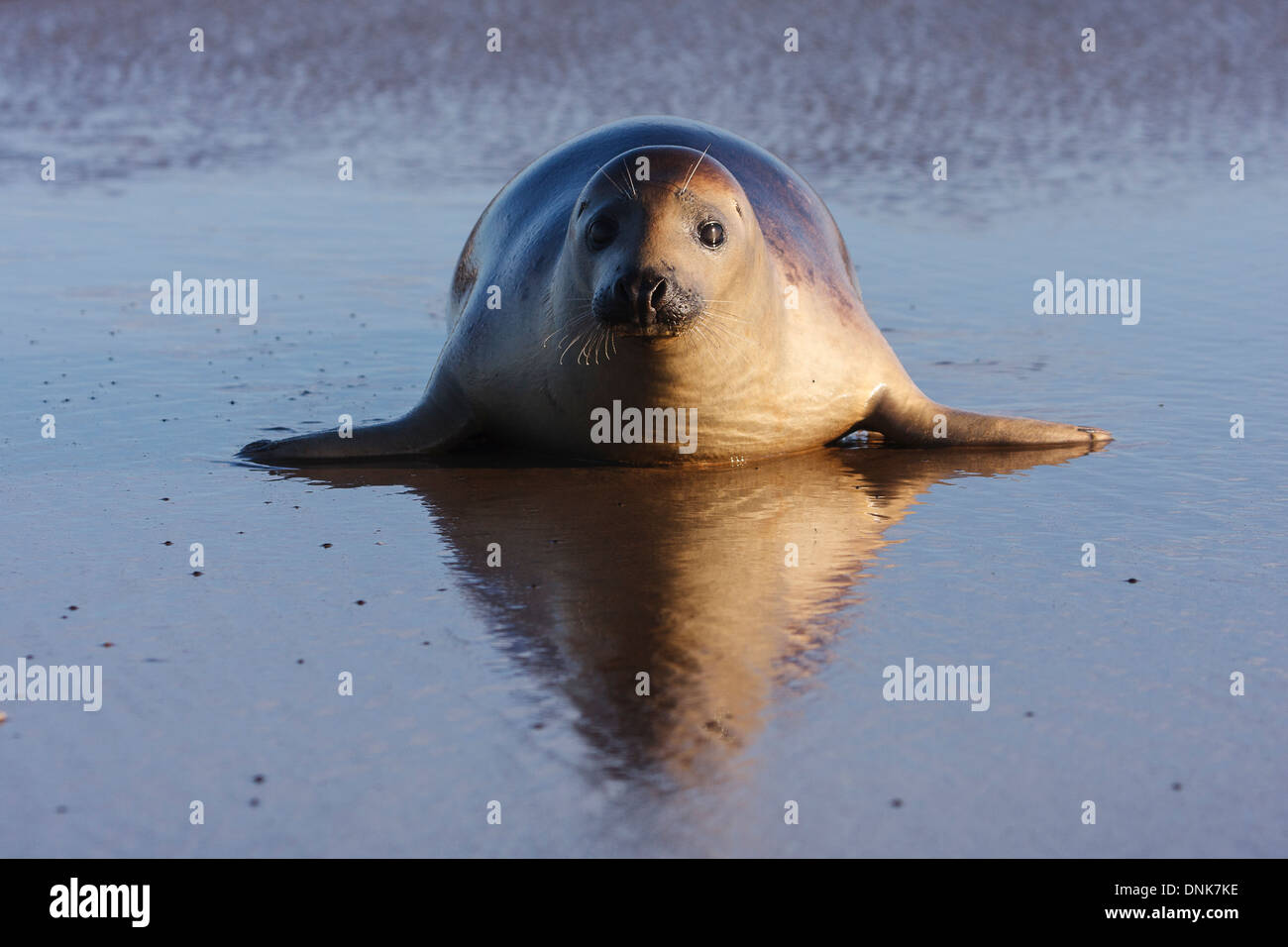Seal gray (Halichoerus grypus) Donna Nook National Nature Reserve, Lincolnshile, England, U.K., Europe - Stock Image