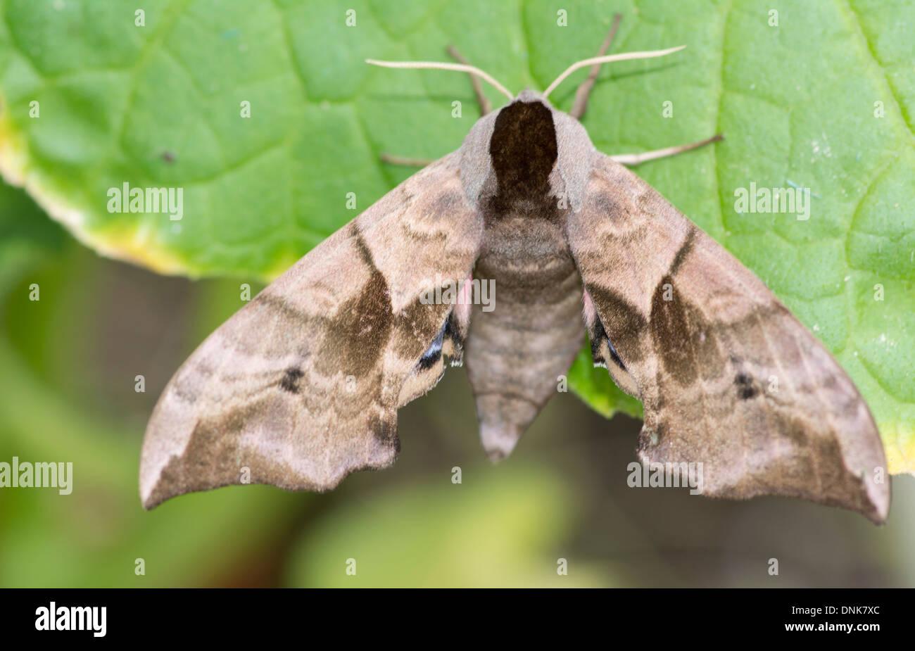 Eyed Hawk-moth, Smerinthus ocellata - Stock Image
