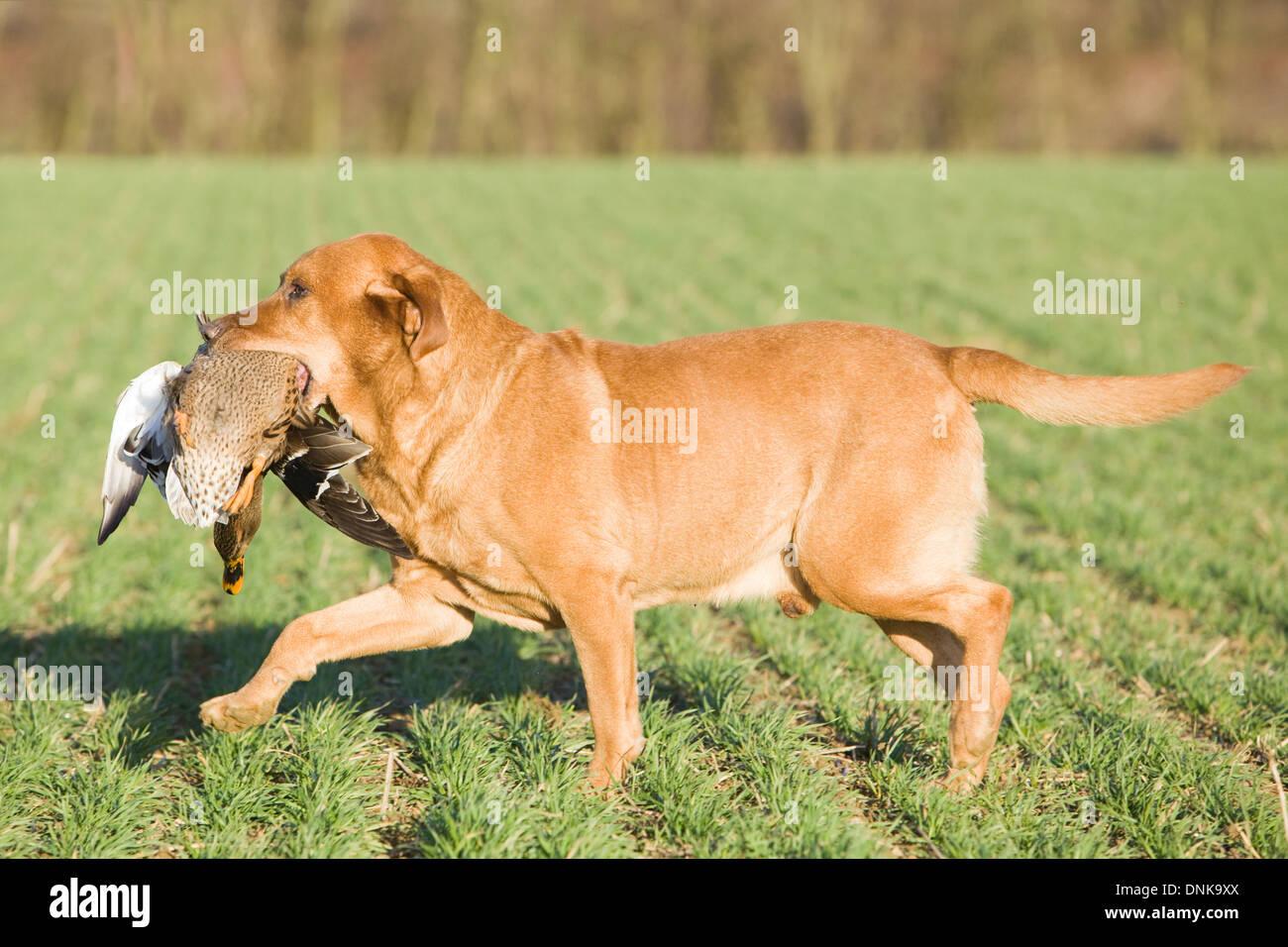 A Golden Labrador Retriever retrieving a duck on a shoot in England - Stock Image