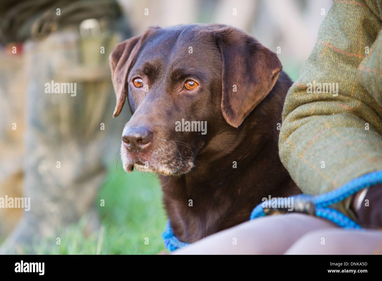 A Chocolate Labrador Retriever on a pheasant shoot in England - Stock Image