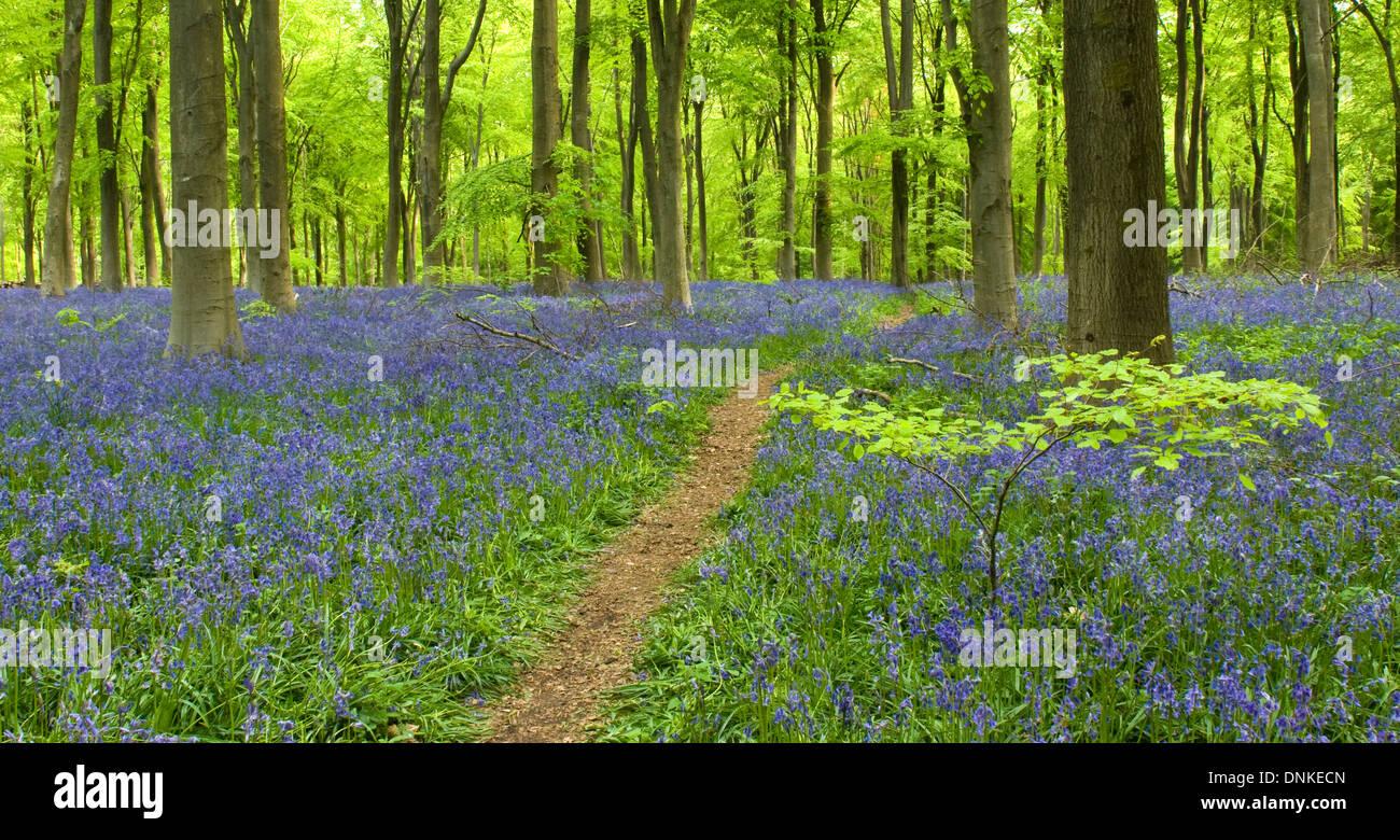 Bluebells, Westwoods. Stock Photo