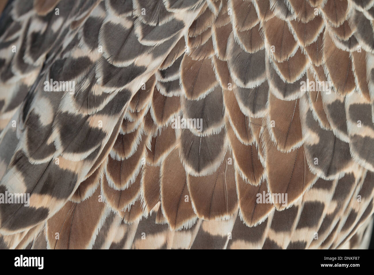 Closeup of feathers of falcon - Stock Image