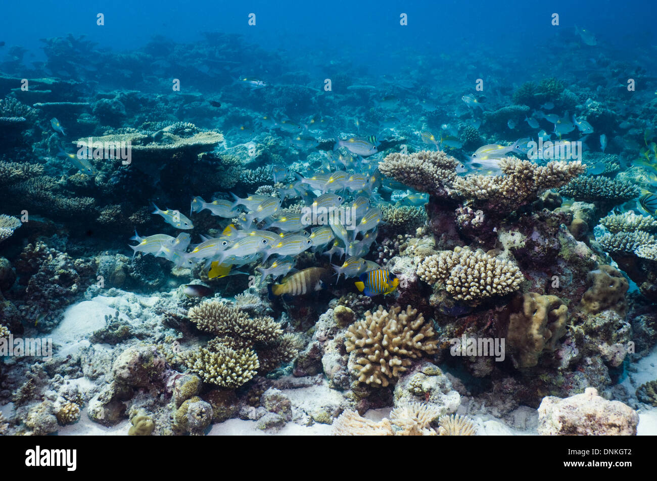 Coral reef with a small school of Yellowspot emperors (Gnathodentex aurolineatus). Maldives. - Stock Image