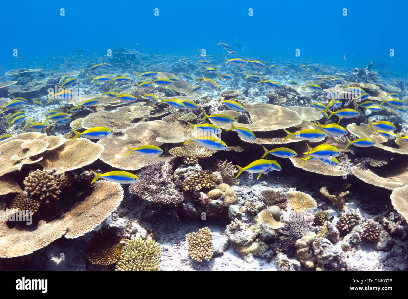 Shallow reef top with mainly table corals Acropora sp.) and Yellowtop fusiliers (Caesio xanthonota).  Maldives. Stock Photo