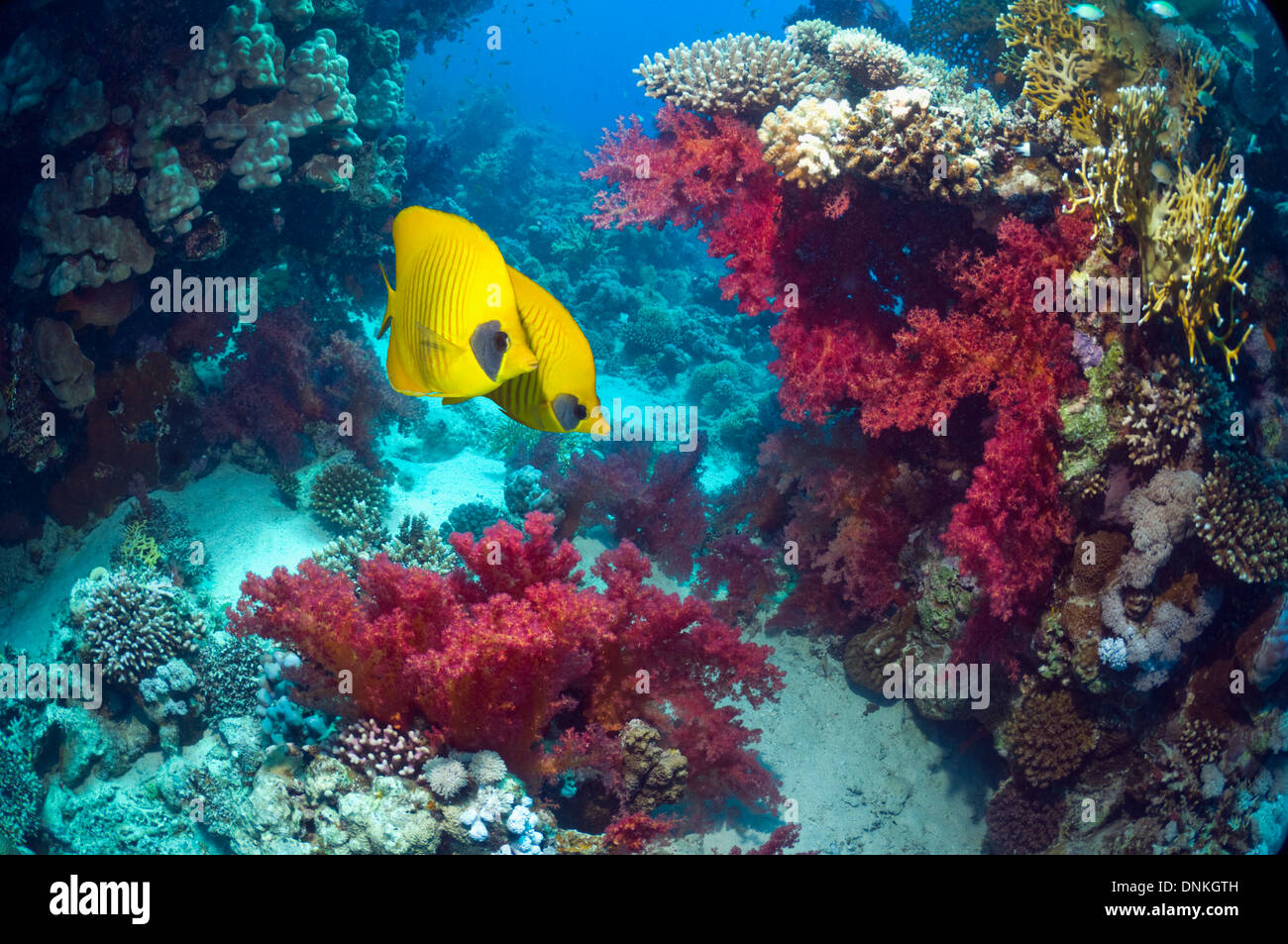Golden butterflyfish (Chaetodon semilarvatus) with soft corals (Dendronephthya sp) on coral reef. Egypt, Red Sea. - Stock Image