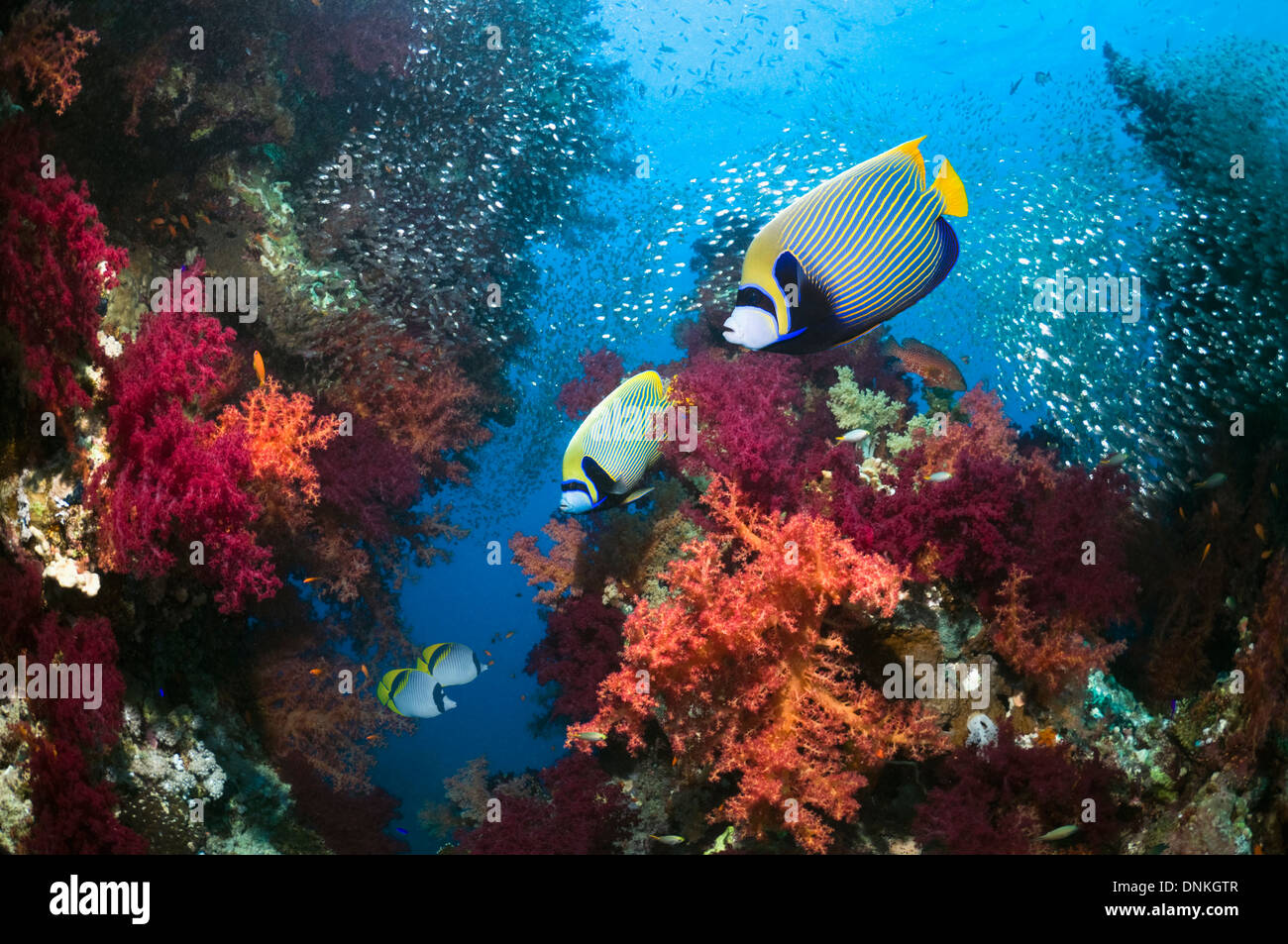 Coral reef scenery with Emperor angelfish - Stock Image