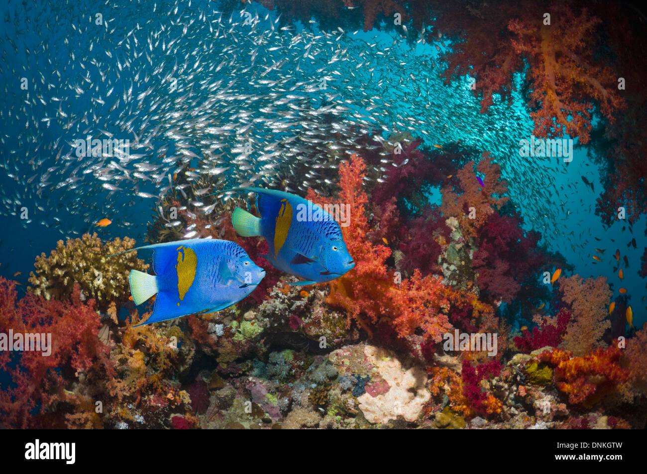 Coral reef scenery with Yellowbar angelfish - Stock Image