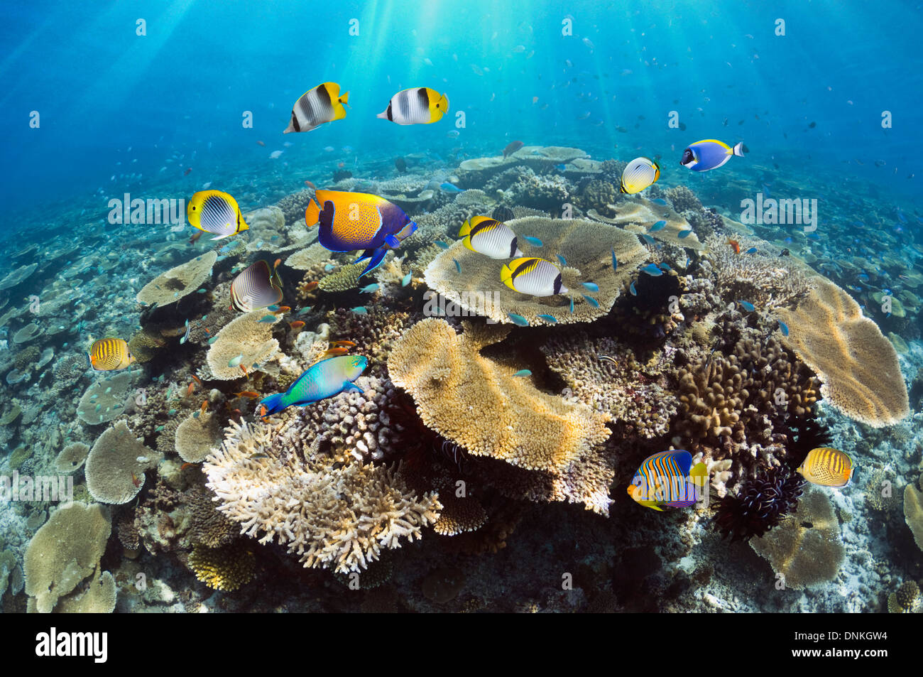 Coral reef with table corals (Acropora sp.) and tropical reef fish. Maldives. - Stock Image