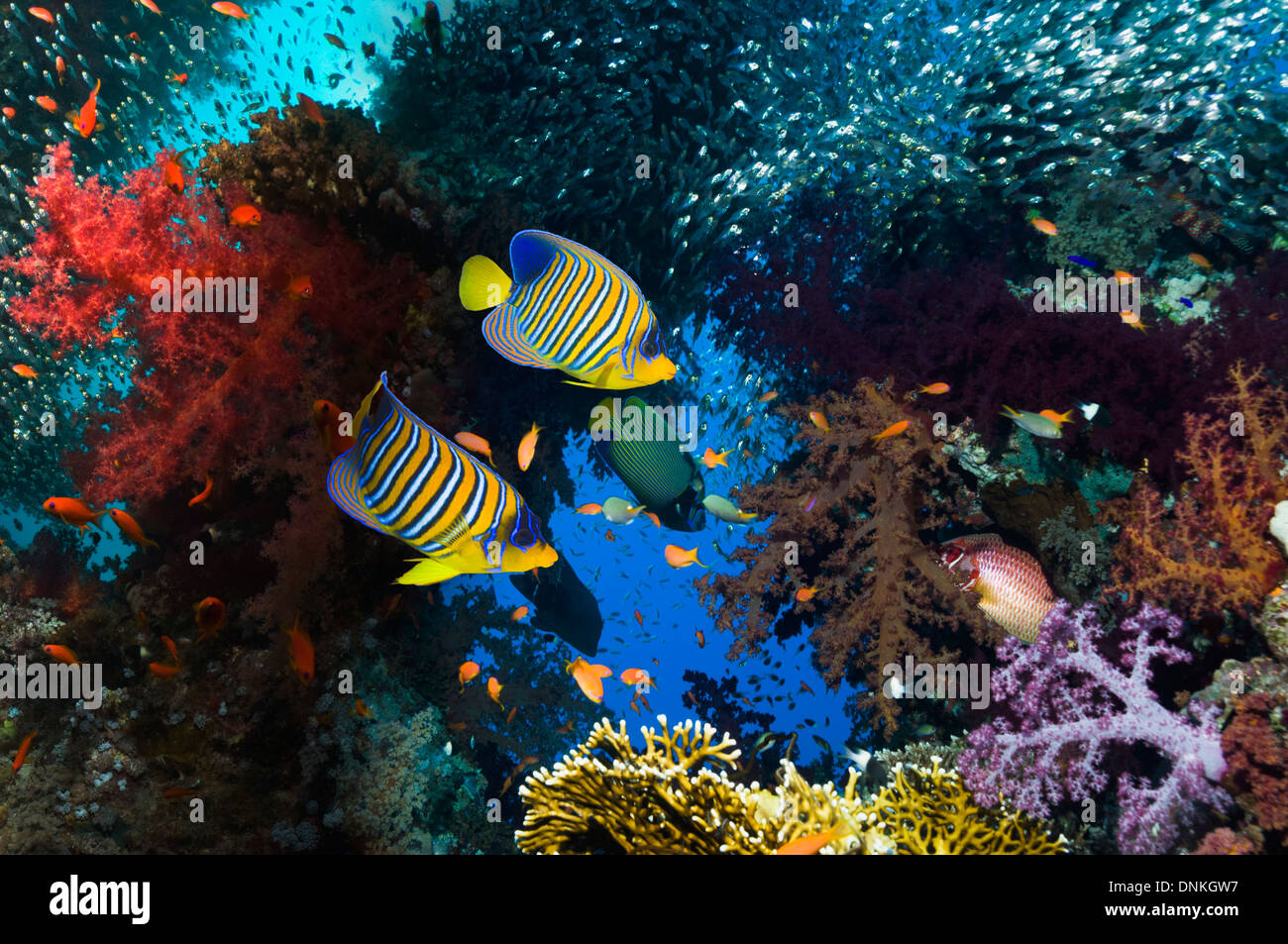Coral reef scenery with angelfish - Stock Image