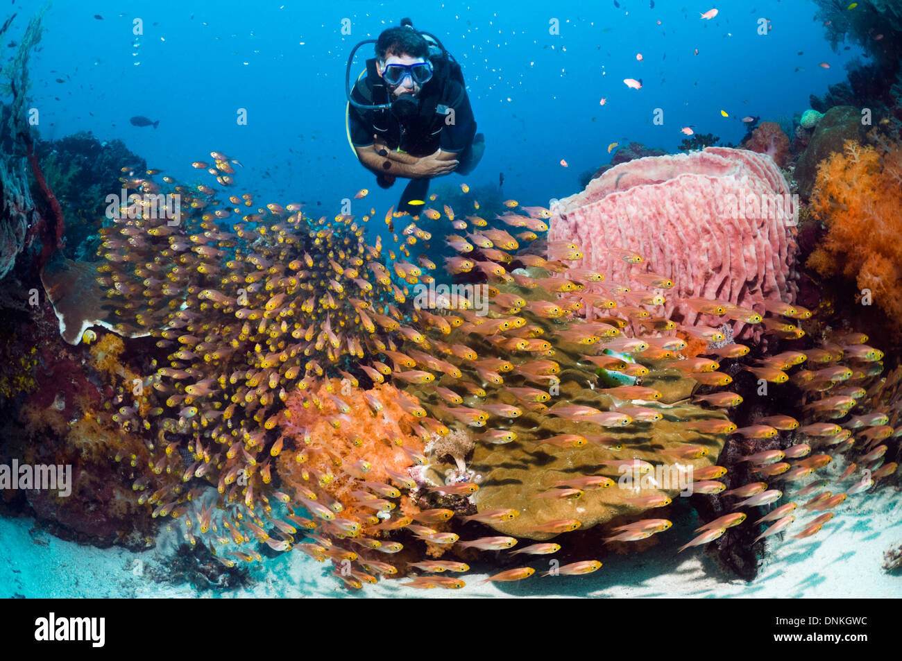 Male scuba diver watching a school of Pygmy sweepers (Parapriacanthus ransonetti) on coral reef. Stock Photo