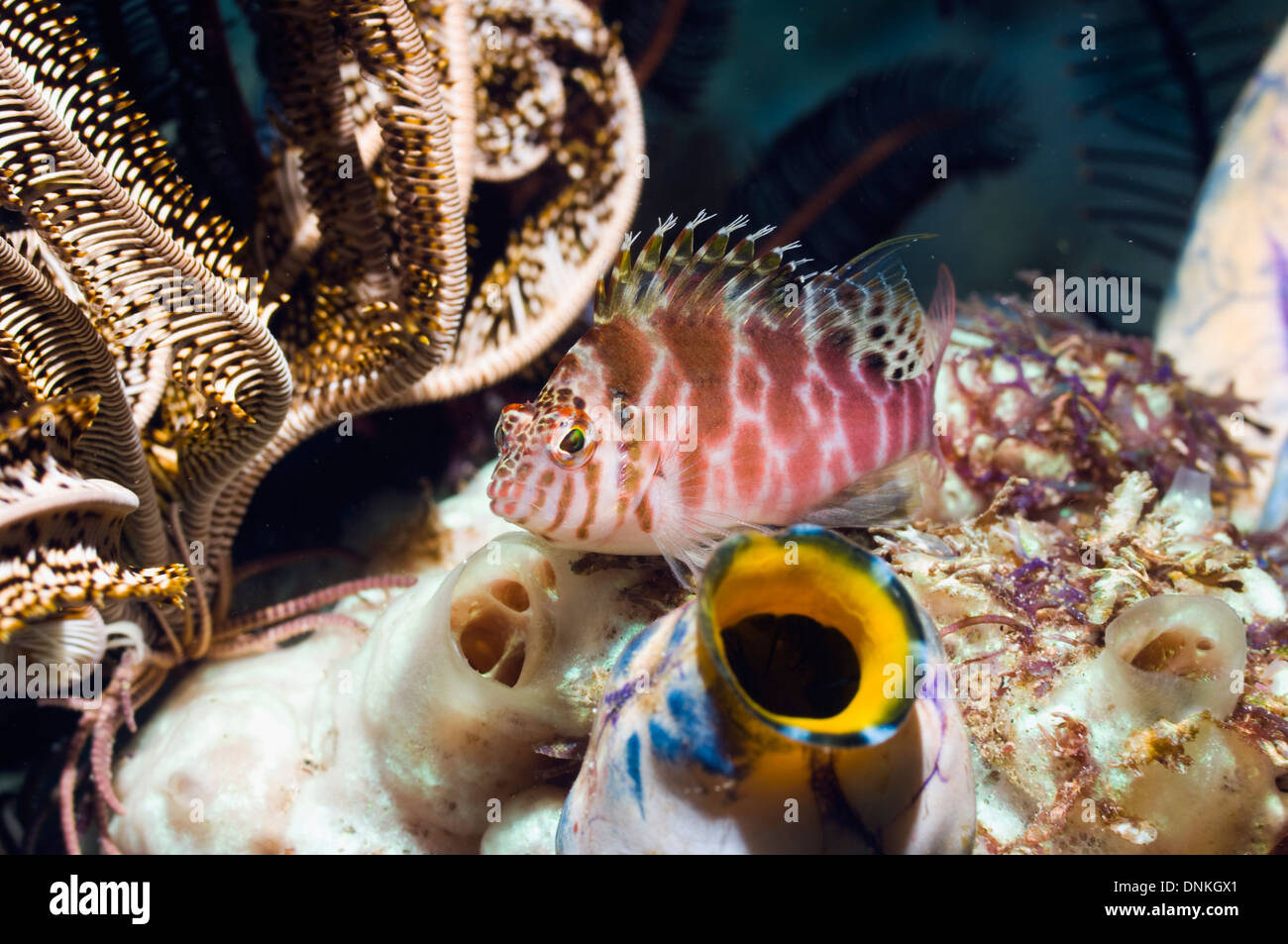 Spotted hawkfish (Cirrhitychthys aprinus) with Sea squirts (Polycarpa aurata) - Stock Image