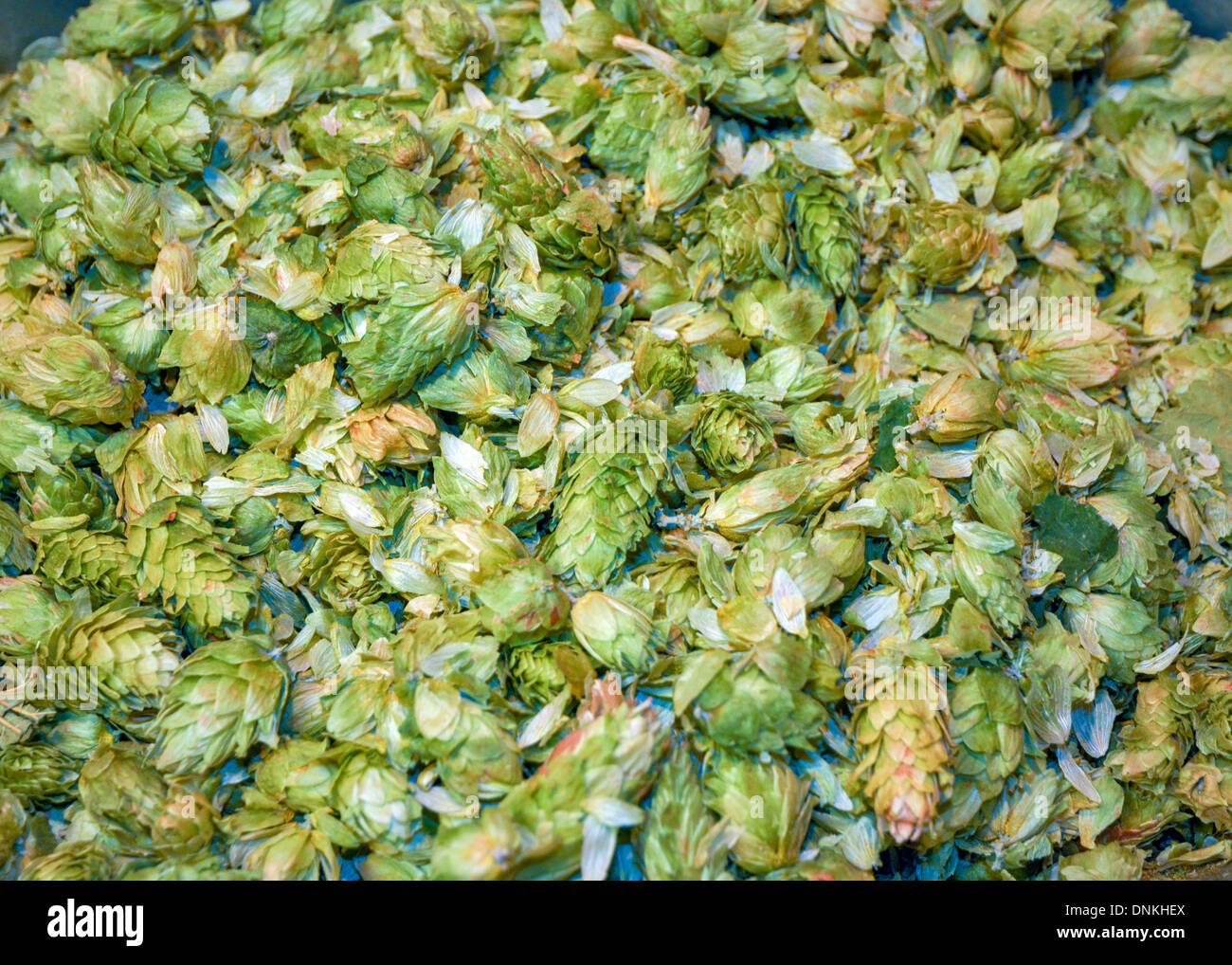 Ingredient for making beer hops - Stock Image