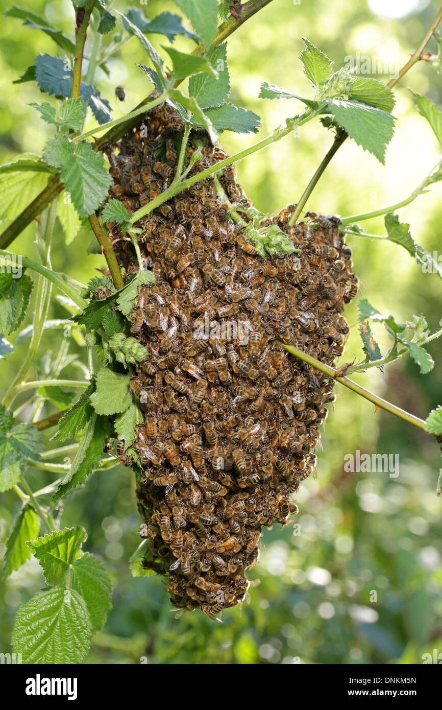 A swarm of honeybees. - Stock Image