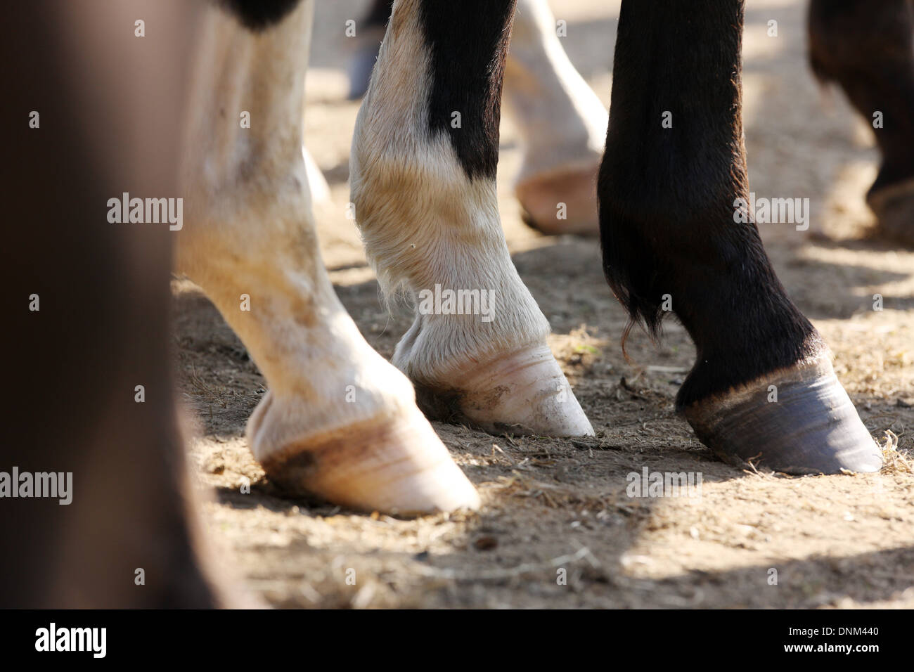Graditz, Germany, horses' hooves - Stock Image