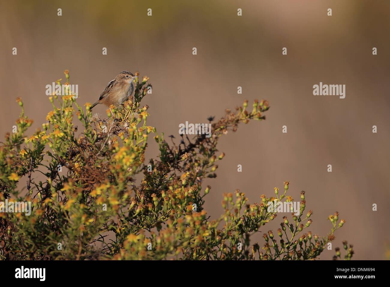 Zitting Cisticola (Cisticola juncidis) - Stock Image