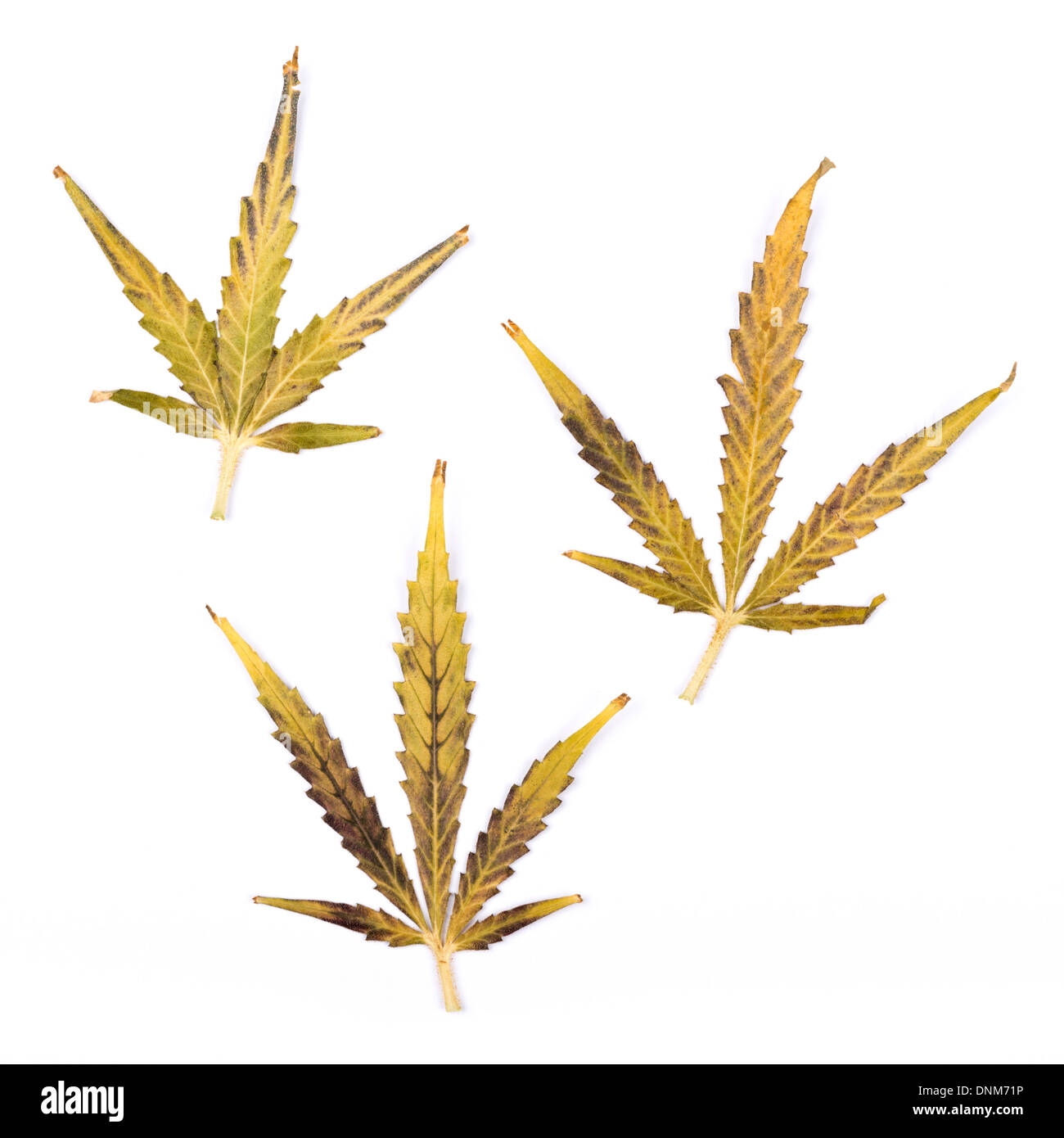 Three brightly coloured small cannabis leaves isolated on a white background. - Stock Image