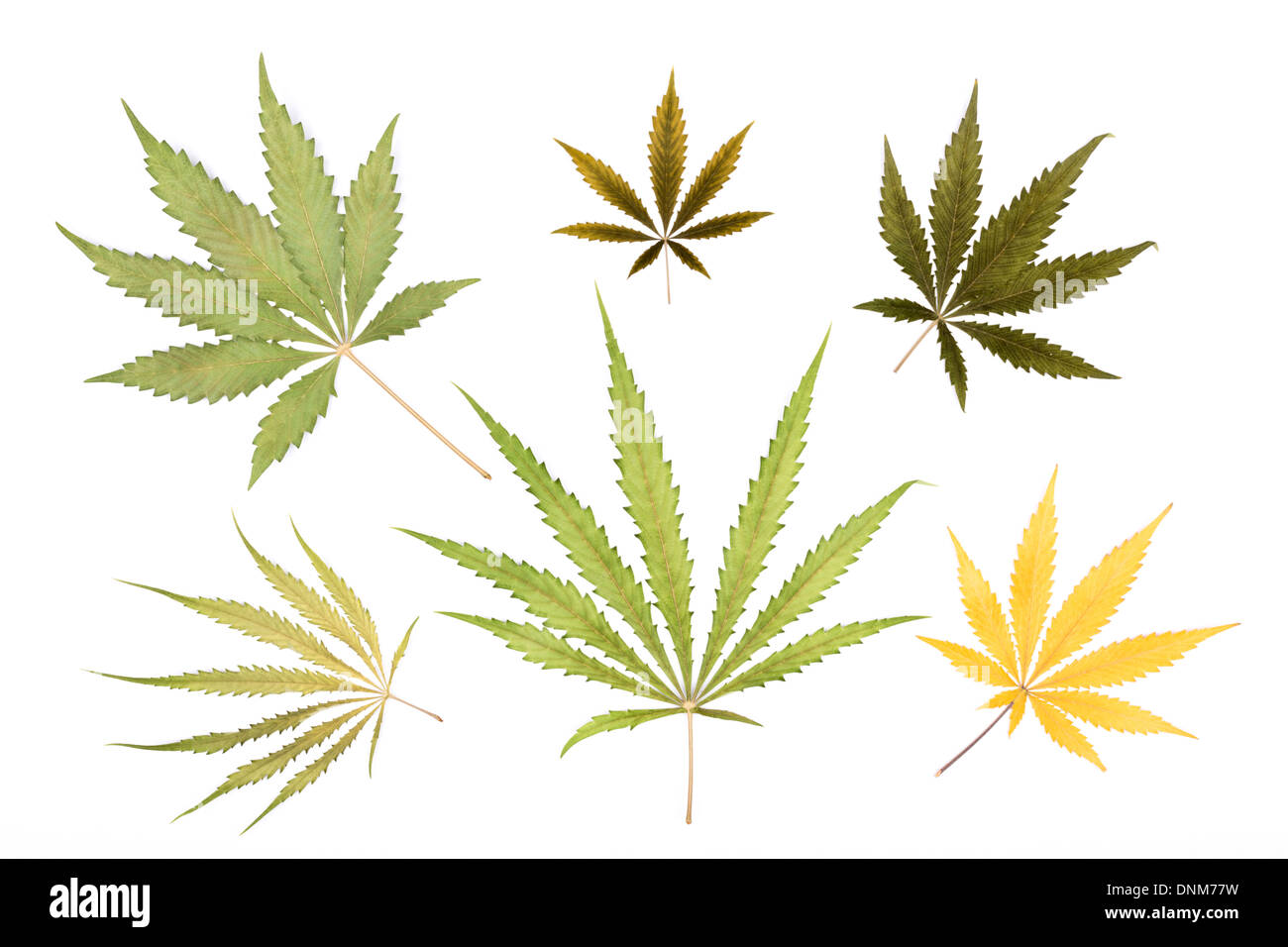 A variety of cannabis sativa leaves isolated on white background. - Stock Image