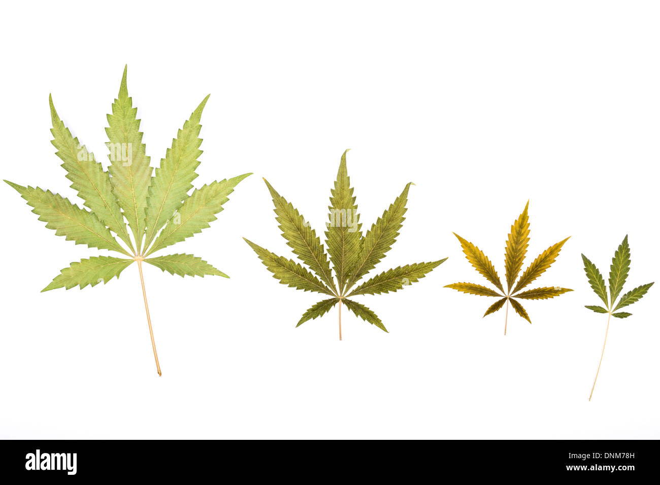 Cannabis leaves of different sizes and colours. - Stock Image