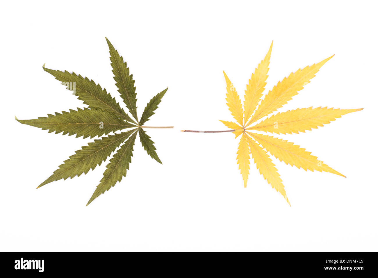 Two different coloured cannabis leaves isolated on white background. - Stock Image