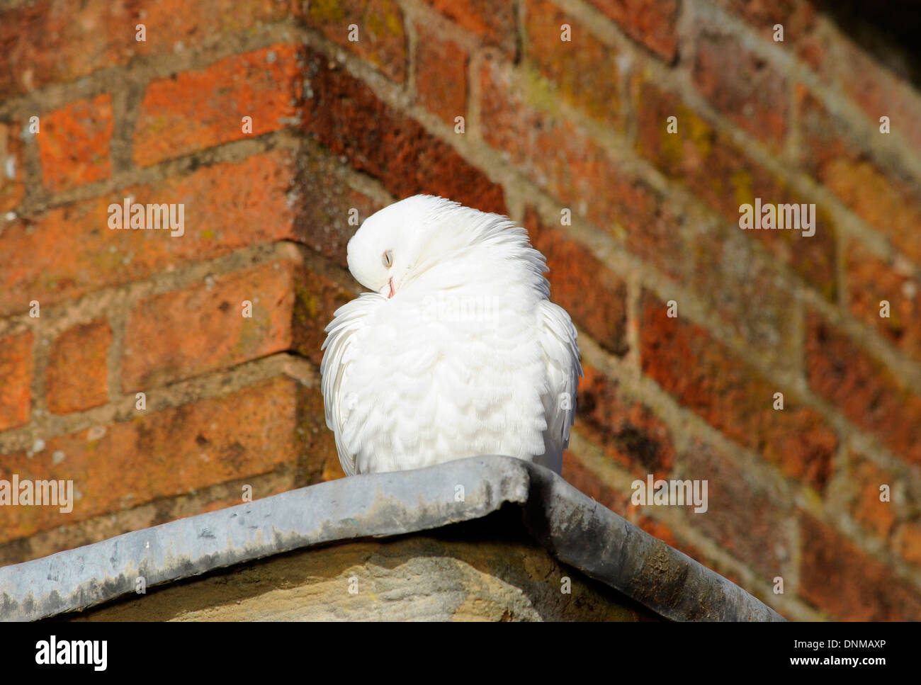 Adult white dove preening its feathers. Stock Photo