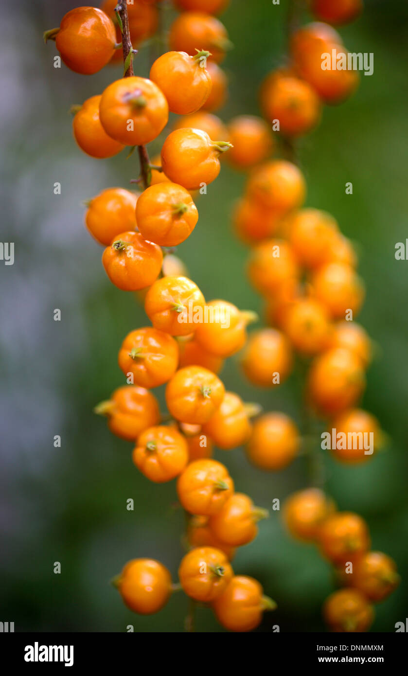 Orange wild fruits in Taxco de Alarcon, in Guerrero State, Mexico, august 22, 2007. - Stock Image