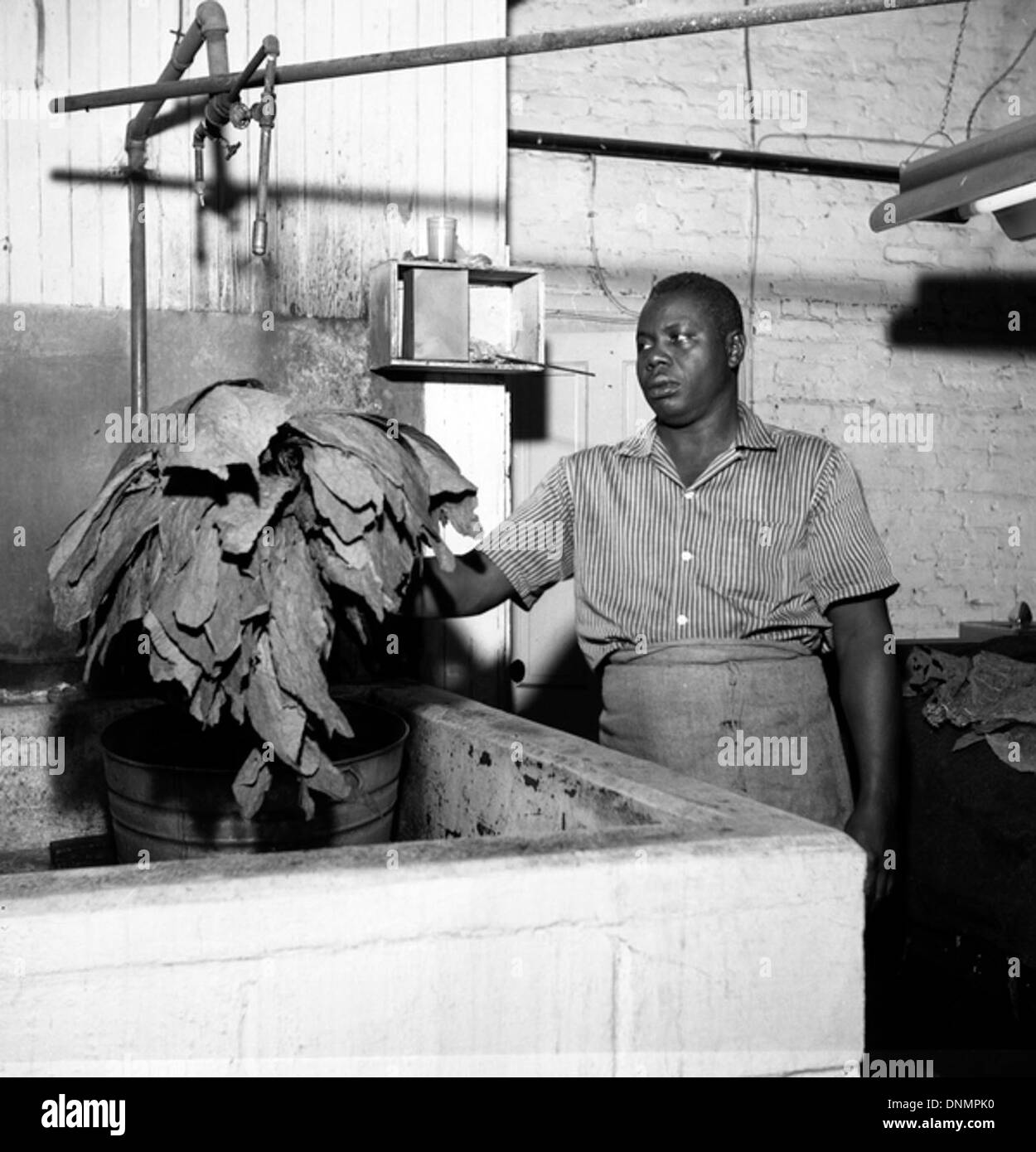 Worker spraying tobacco leaves for the Florida Cigar Company in Quincy, Florida - Stock Image
