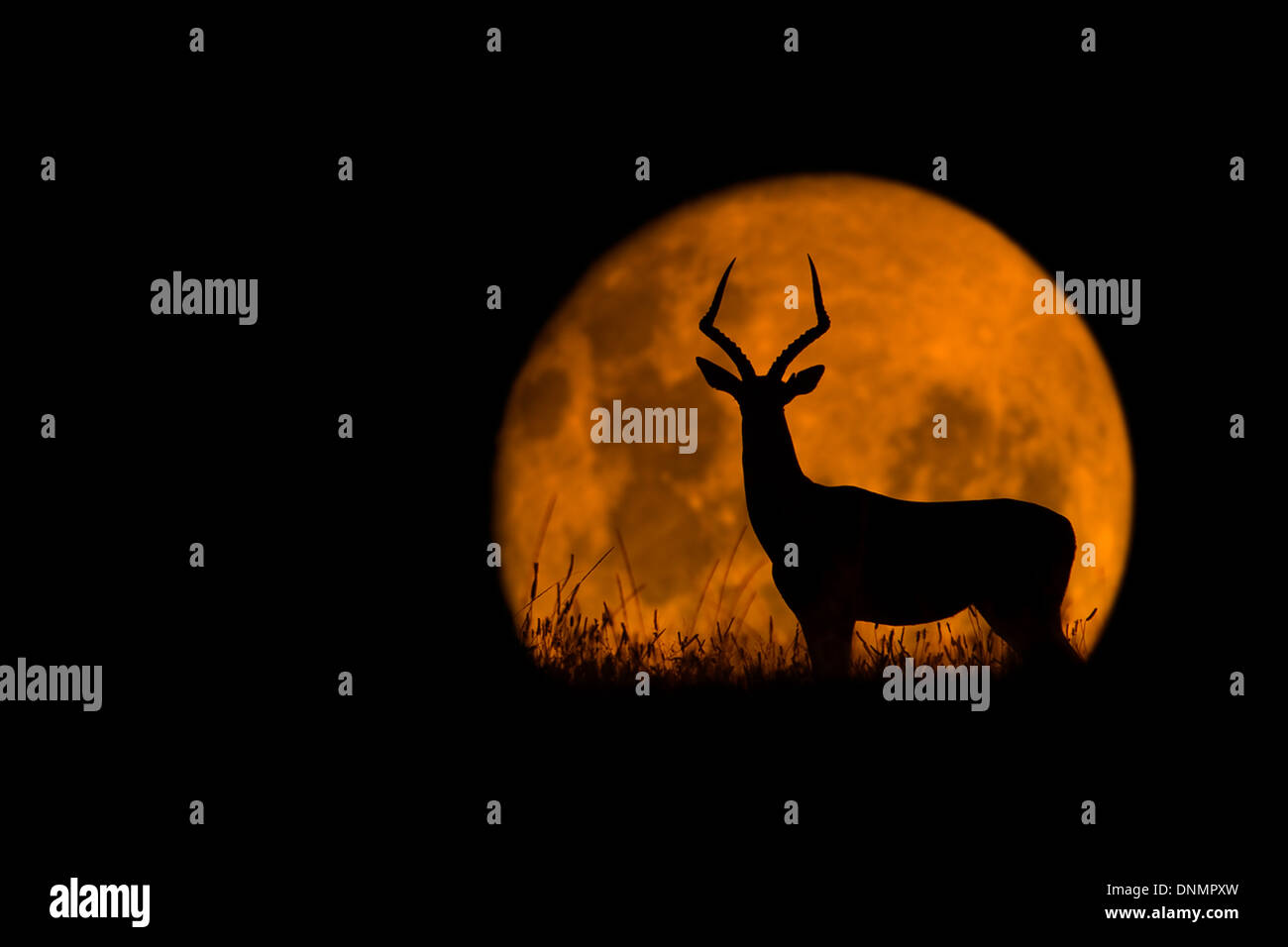 An Impala silhouetted against a rising full moon in Kariega Game Reserve, South Africa - Stock Image