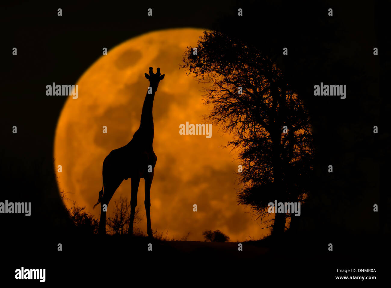 Giraffe silhouette captured at sunset in Kruger blended with a full moon captured when rising. - Stock Image
