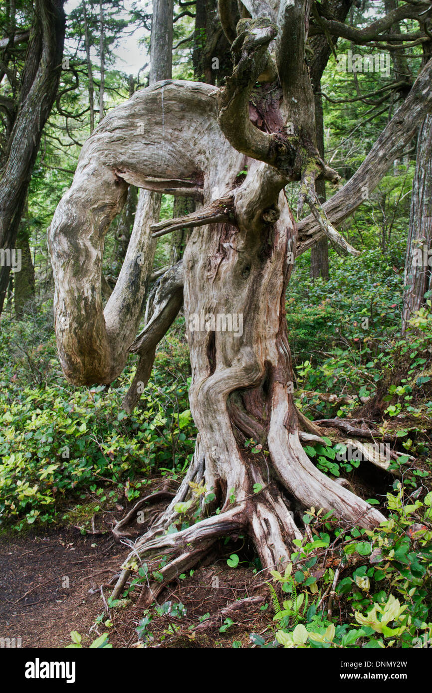 Srong winds off the Pacific Ocean twist ocean front trees into strange shapes.Wild Pacific Trail.Ucluelet, Vancounver Island - Stock Image