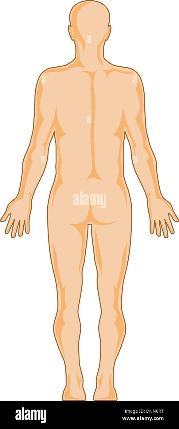 illustration on the human anatomy showing a male standing viewed from rear on isolated background - Stock Vector