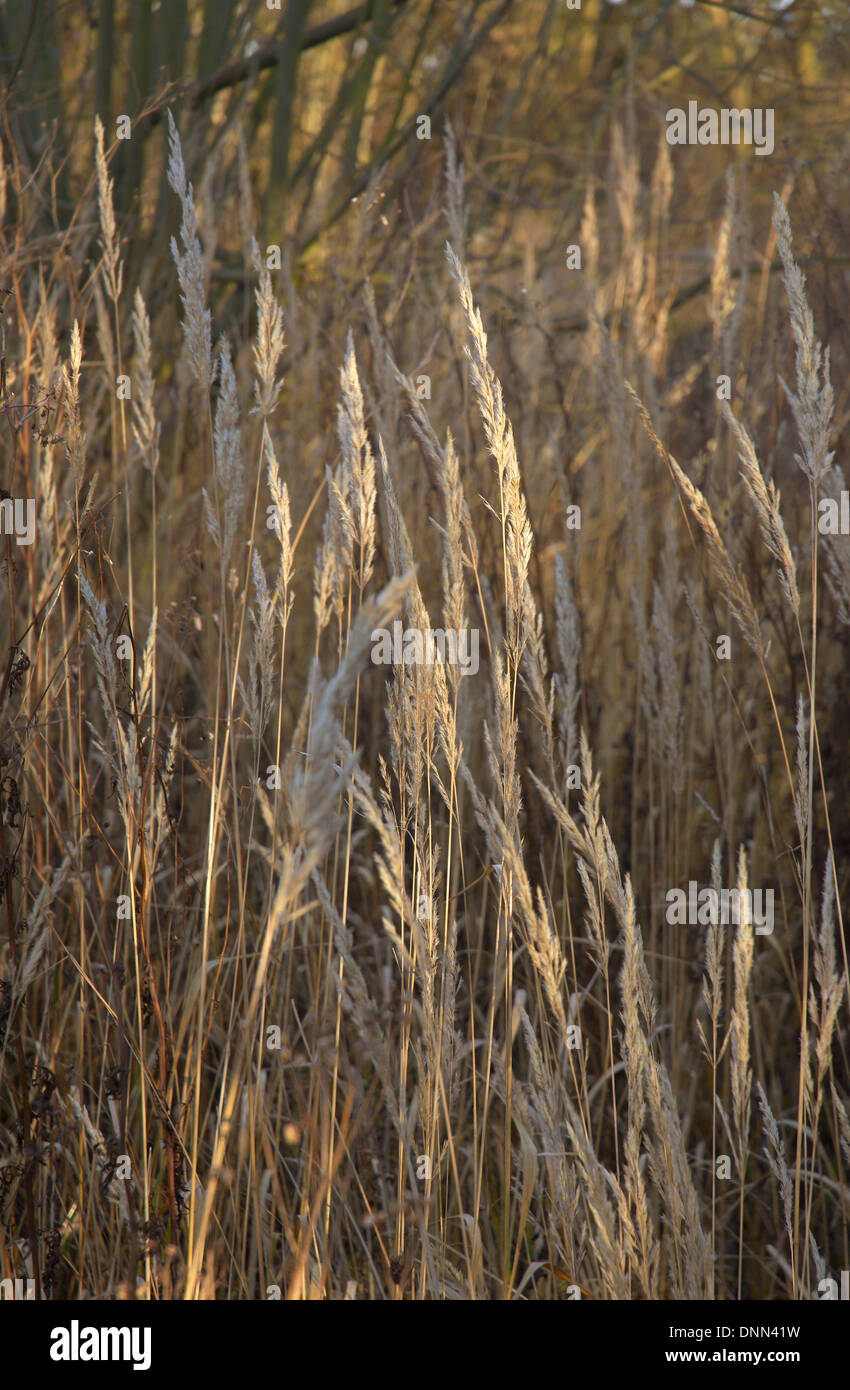 Winter Reeds blowing in the wind, Wicken Fen, Cambridgeshire, UK - Stock Image