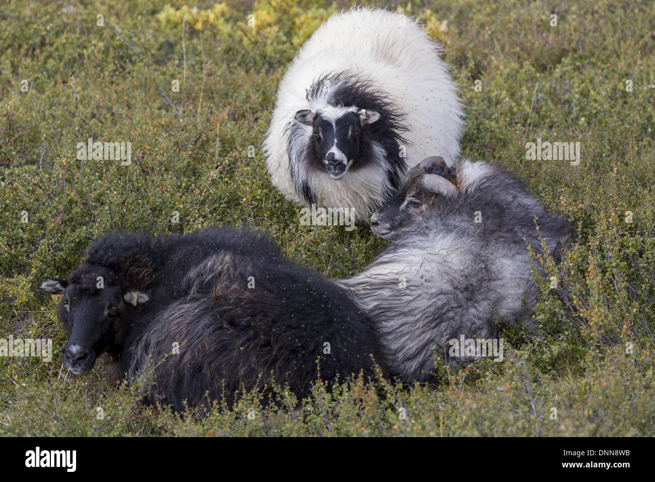 Three Icelandic sheep displaying various coloured fleeces - Stock Image