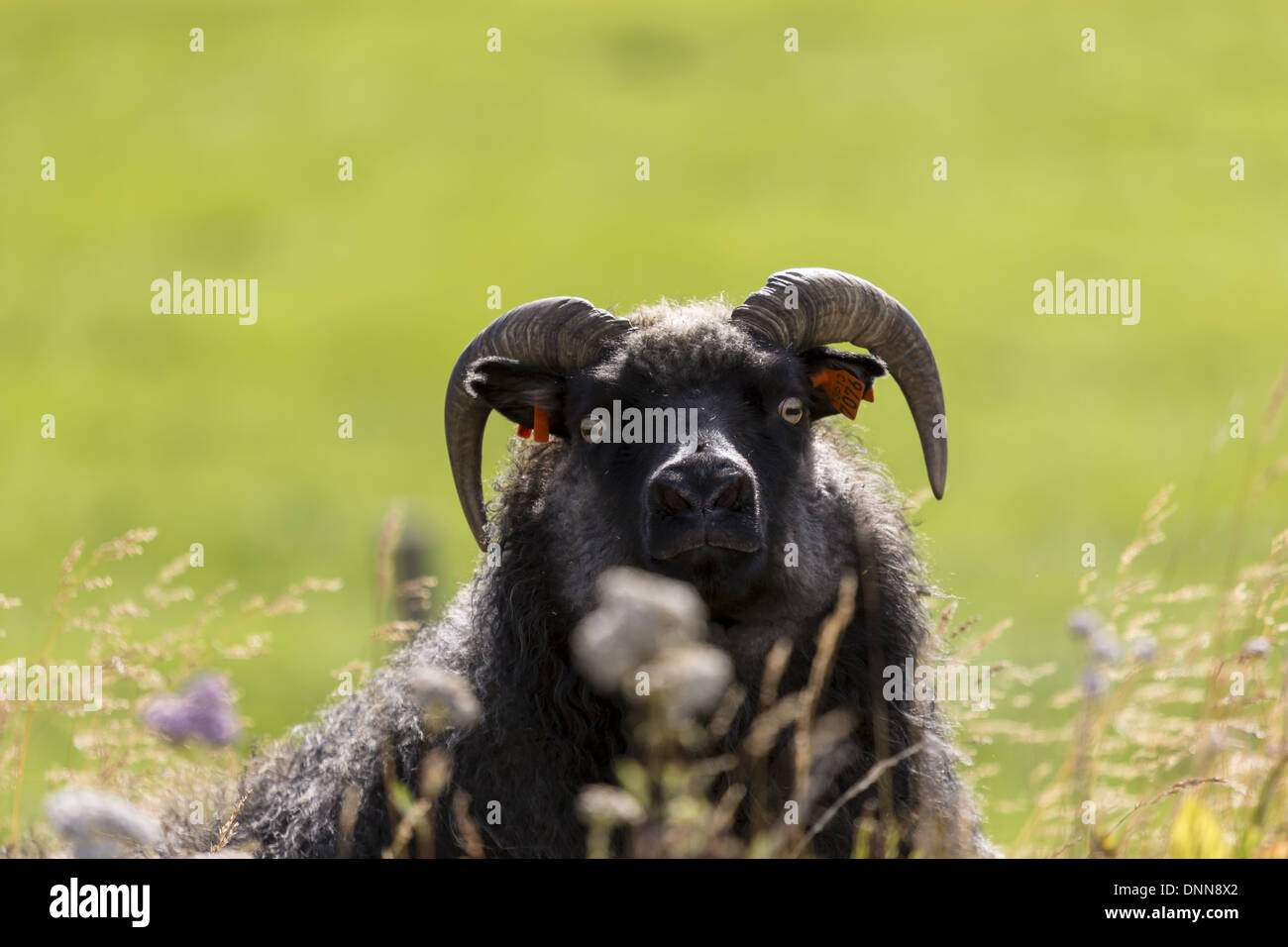 Icelandic sheep with multi coloured fleece and short curly horns looking into camera - Stock Image