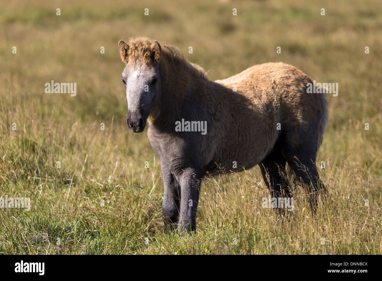 The Icelandic horse is a small breed of horse that has evolved in isolation in Iceland. - Stock Image