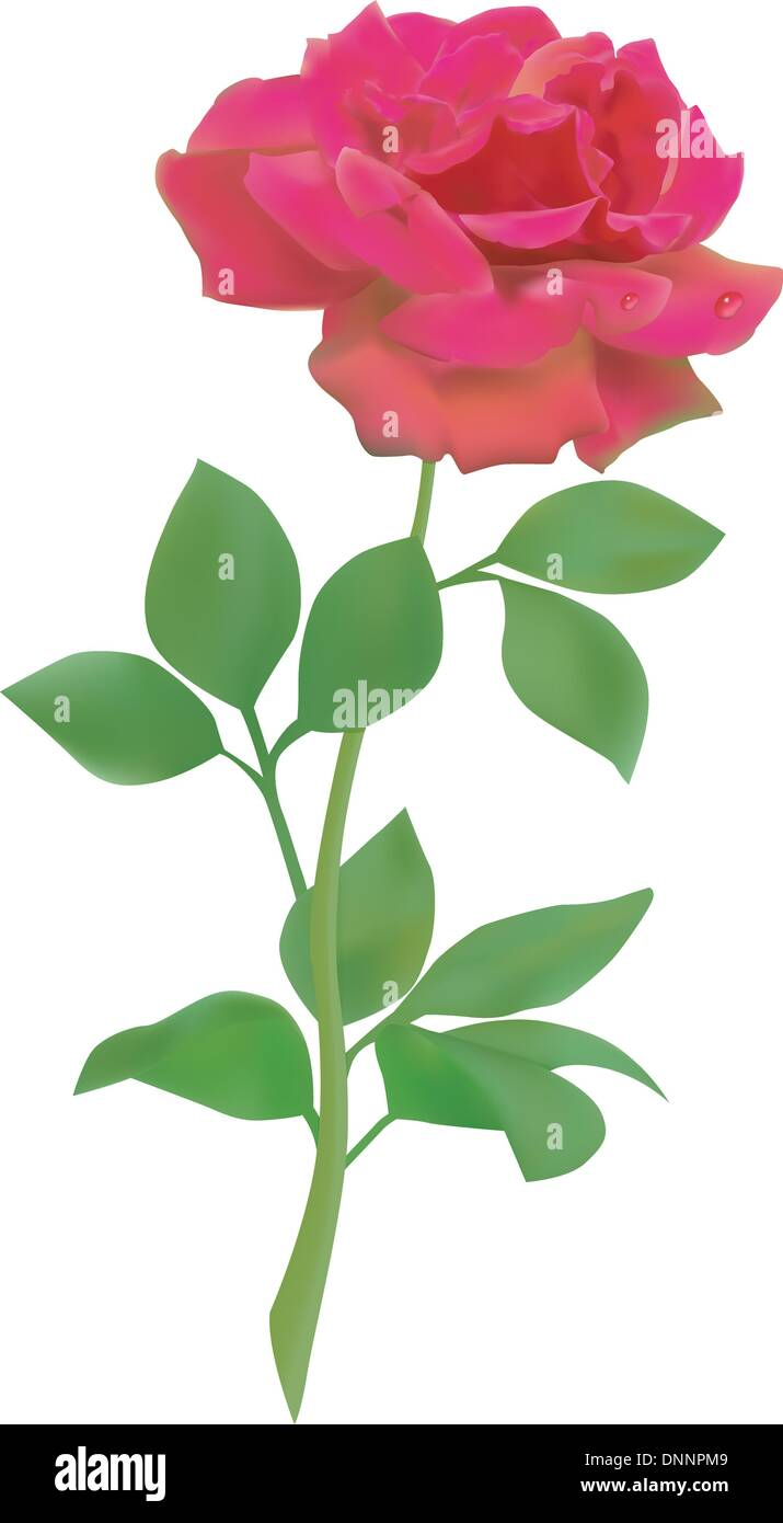Red vector realistic rose isolated on white background - Stock Image
