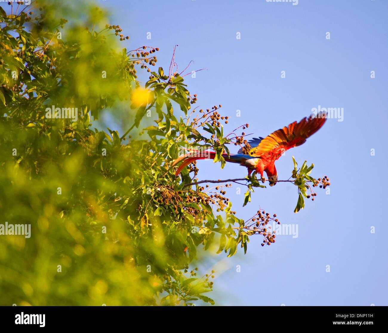 Scarlet macaw in Osa Peninsula, Costa Rica - Stock Image