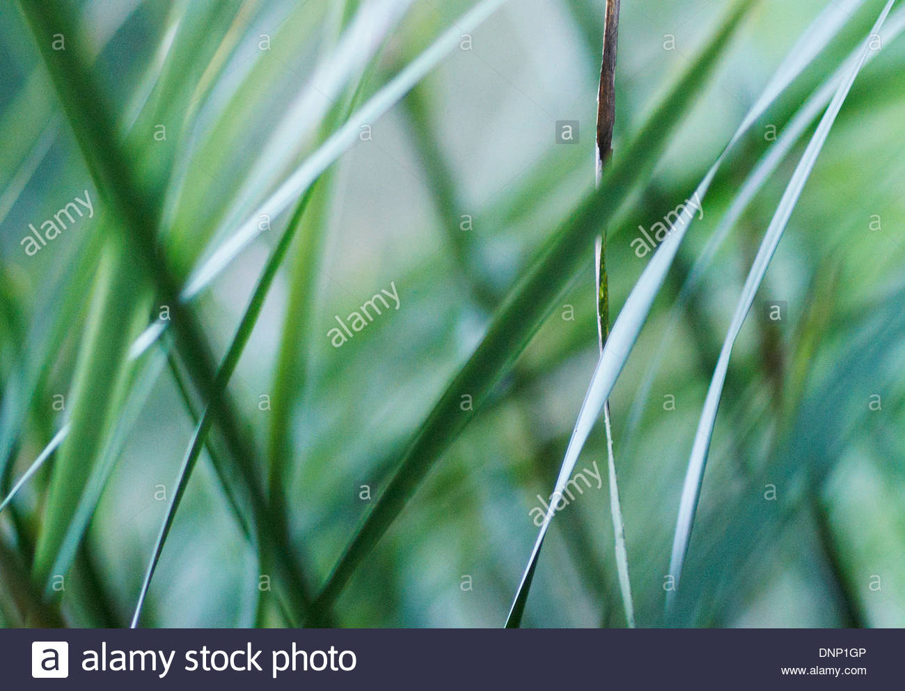 soft focus image from amongst tall lush green grass - Stock Image