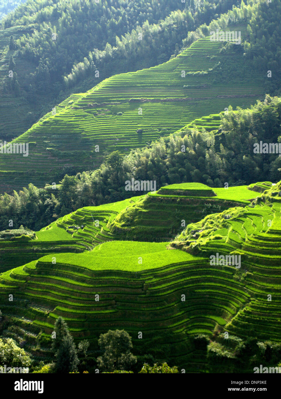 The Longsheng Rice Terraces (Lóngshèng Tītián) or Dragon's Backbone Rice Terraces, located in Longsheng County, Stock Photo