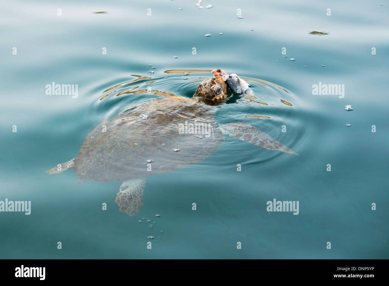 Griechenland, Kastellorizo, Wasserschildkröte Caretta Caretta - Stock Image