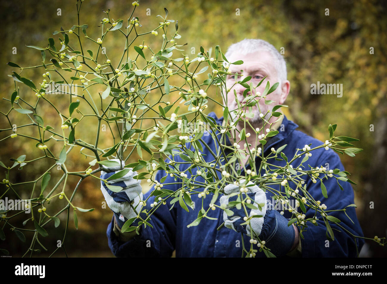 A Mistletoe harvester tackles a tree in South Gloucestershire heavy with the festive plant. - Stock Image